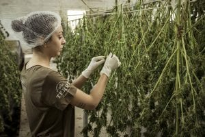 StrategyDriven Risk Management Article |Insurance for Cannabis Companies|4 Types of Insurance for Cannabis Companies: Do You Know the Hidden Traps of the Industry?